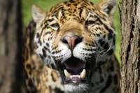 Jaguar Fangs Fine Art Print