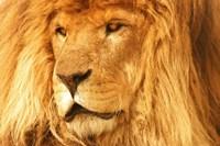 Golden Lion Portrait I Framed Print