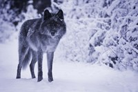 Gray Wolf In Winter Snow Fine Art Print