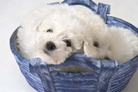White Puppy In Blue Basket Fine Art Print