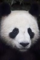 Panda Closeup Fine Art Print