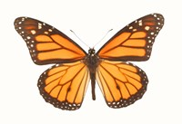 Orange And Black Butterfly On White Fine Art Print
