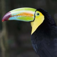 Toucan Profile Fine Art Print