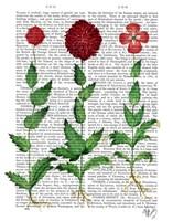 Italian Carnation 2 Framed Print