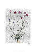 Italian Carnation 5 Framed Print
