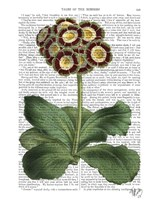 Primula Auricula Red Framed Print