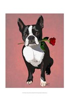 Boston Terrier with Rose in Mouth Framed Print