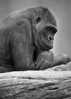 Gorilla Profile II Fine Art Print