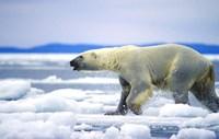 Polar Bear on Ice Float Fine Art Print