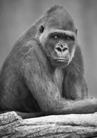 Gorilla Stare Fine Art Print