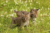 Wild Cat Cubs Fine Art Print