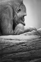 Gorilla Profile I Fine Art Print