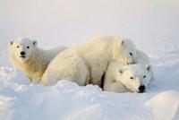 Cubs Playing with Polar Bear Fine Art Print