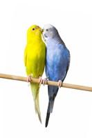 Two Love Birds I Fine Art Print