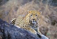 Leopard Resting Fine Art Print