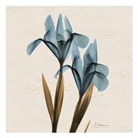 Iris Blue Brown B18 Framed Print