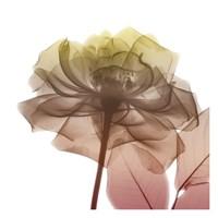 Rose Dawn 3 Fine Art Print