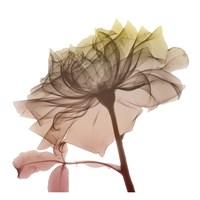 Rose Dawn 4 Fine Art Print