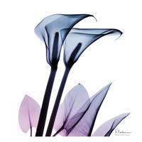 Calla Lily Purp II Fine Art Print