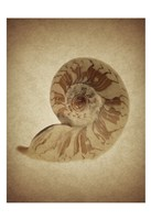 Sepia Shell 9 Framed Print