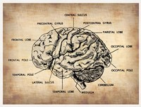 Vintage Brain Map Anatomy Fine Art Print