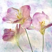 Pink Hyacinth III Fine Art Print