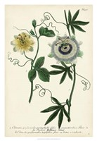Antique Passion Flower II Fine Art Print