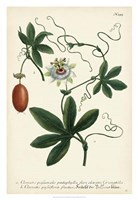 Antique Passion Flower III Fine Art Print