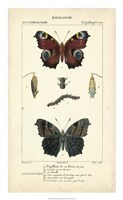 Antique Butterfly Study II Framed Print