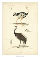 Antique Ostrich Study Fine Art Print