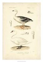 Antique Swan Study Fine Art Print