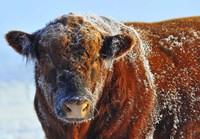 Bull on Ice Fine Art Print