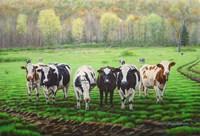 Curious Cows Fine Art Print