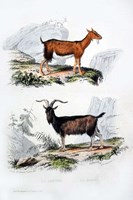 Male and Female Goats Fine Art Print