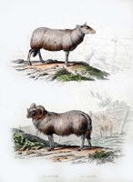Sheep and Ram Fine Art Print