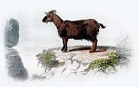 Goat I Fine Art Print