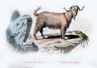Goat II Fine Art Print