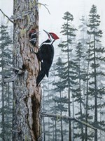 Piliated Woodpeckers Fine Art Print