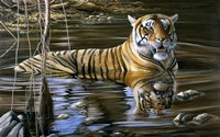 Cooling Off Bengal Tiger Fine Art Print