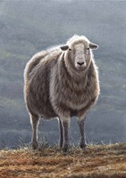 Herdwick Sheep Fine Art Print