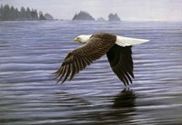 Low Flight Bald Eagle Fine Art Print