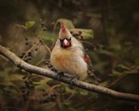 Anticipating Winter Cardinal 1 Framed Print
