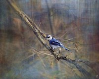 Color My World Blue Jay Fine Art Print