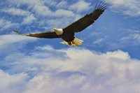 Fly High Bald Eagle Fine Art Print