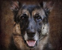 German Shepherd Face Fine Art Print