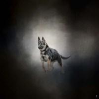 German Shepherd Puppy Feet First Fine Art Print