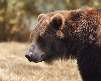 Grizzly Watch Fine Art Print