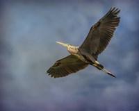 Heron Overhead Fine Art Print