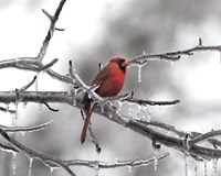 Male Cardinal Braving The Cold Fine Art Print
