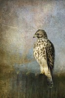 On The Fence Red Shouldered Hawk Fine Art Print